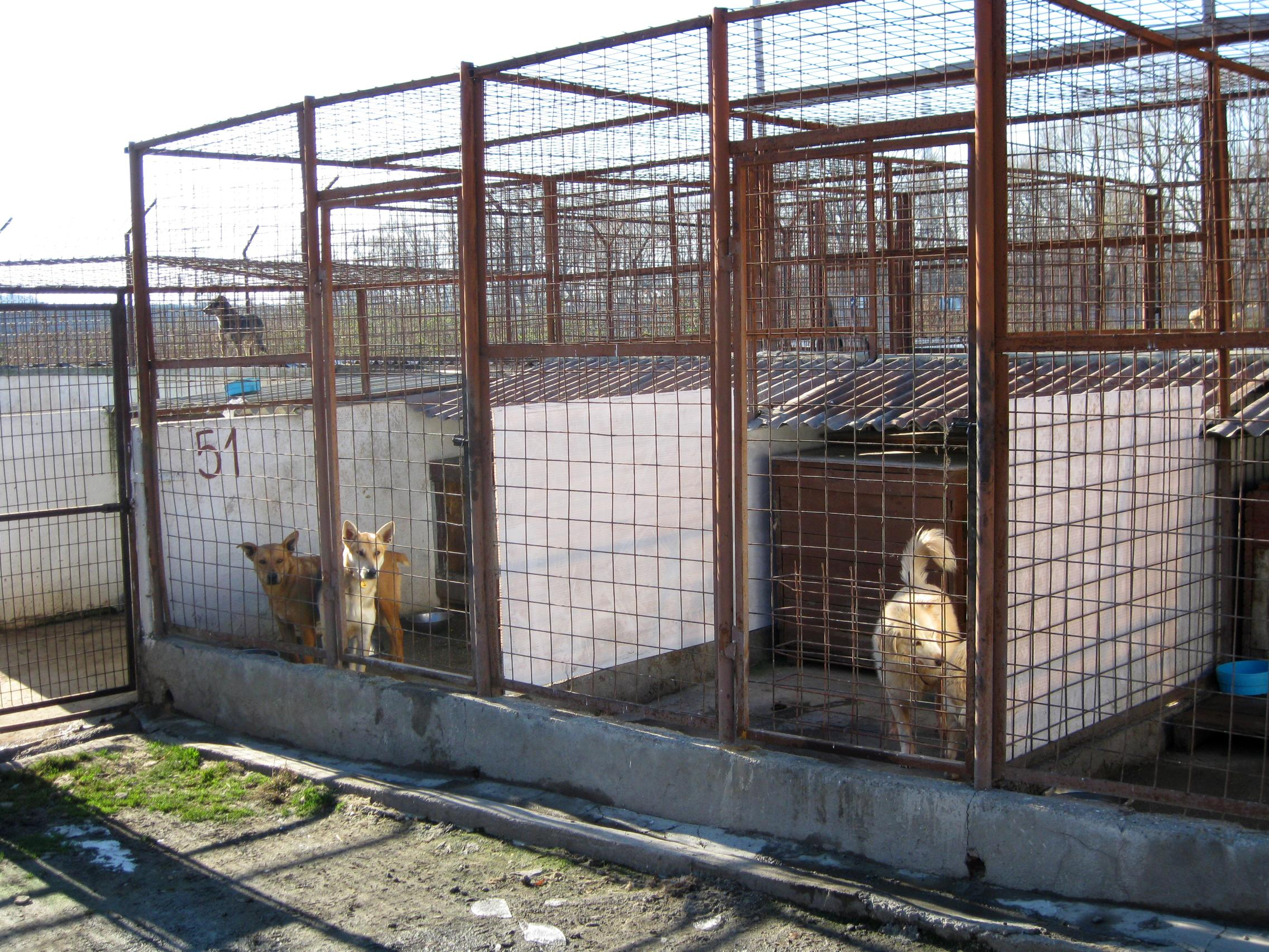 Dogs wait patiently for their turn to be walked by Veterinary Medicine interns in Romania.